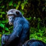chimpanzee-1589243_960_720